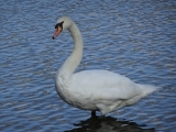 <p>Beautiful swan by the lake </p>
