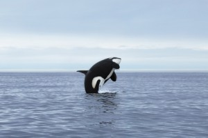 Empty the Tanks with Orca female making high jump, Kamchatka, Pacific Ocean