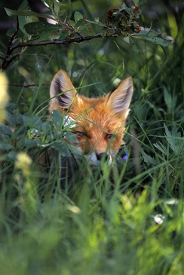 012900877 red fox hiding foliage