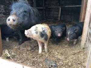 Piggy Rescue 2