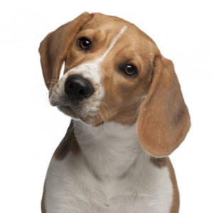 Beagle puppy, 6 months old, in front of white background