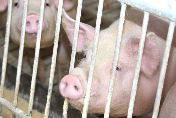 56552467 - fat pigs in the sty with steel bars in pig farm